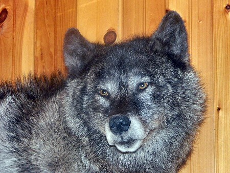 Black Wolf Mounted By Brown Bear Taxidermy Studio Pine Grove PA.