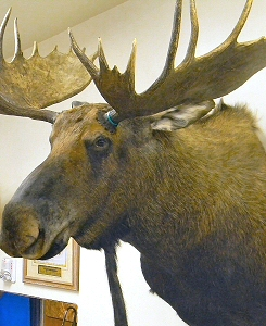 Moose Taxidermy Mounts Pennsylvania,Moose Taxidermy Studio Pennsylvania,Pennsylvania Taxidermist,Moose Taxidermist,Moose Shoulder Mount,Moose Pedestal Mount