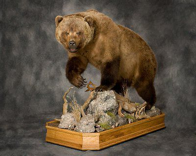 Bear Taxidermy at Eastern PA. Taxidermist Brown Bear Taxidermy Studios