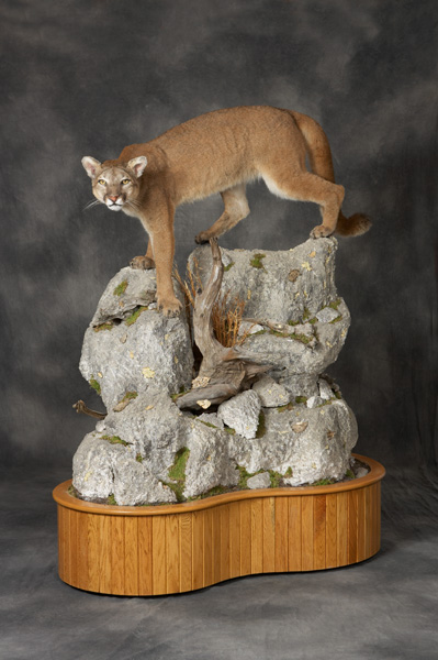 Mountain Lion Taxidermy Mounting, Pennsylvania Taxidermist, Brown Bear Taxidermy Studios