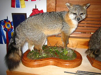 Gray Fox Taxidermy Mount, Brown Bear Taxidermy Studio creates the finest lifelike mounts in custom habitats, stands, poses.