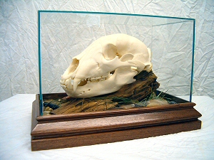Black Bear Skull Mounts, European Bear Skull Mounts, PA.