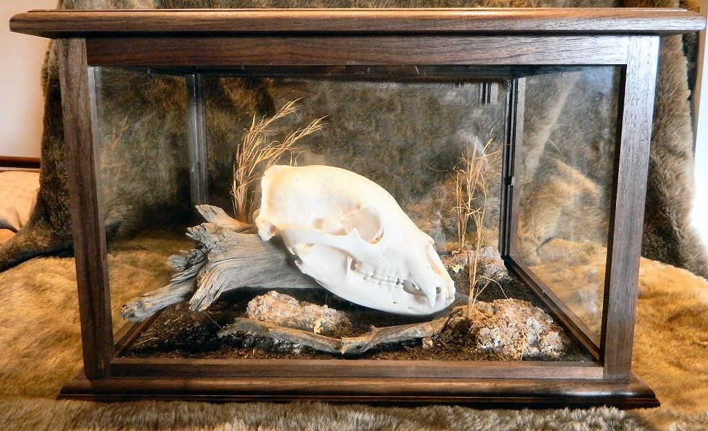 Brown Bear Skulls,Grizzly Bear Skull Mounts,European Skull Mounts, Bleached or Camouflage