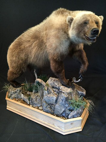 Grizzly Bear Taxidermy Mount by Brown Bear Taxidermy Studio - Pine Grove PA. 570-345-3030