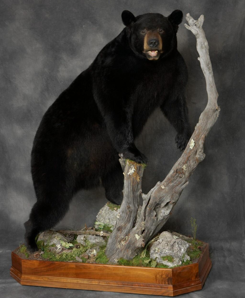 Bear Taxidermy Mounts,Black Bear