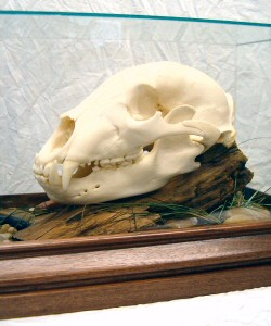 Bear Skull Mounts - Bear skull mounts are a great way to display in a small area.
