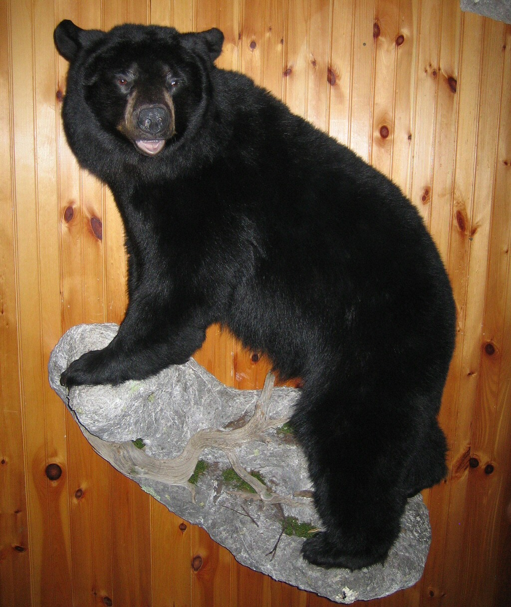 Black Bear Full Body Wall Mounts - Black Bears Full Body Mounted For Walls - Custom Mounted On Branches, Trees, Logs, Rocks With Natural Habitats