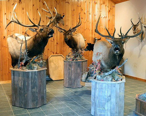 Elk Taxidermist Pennsylvania, Elk Taxidermy Pennsylvania, Elk Shoulder Mounts, Elk Bugling Mounts, Elk Pedestal Mounts, Taxidermy, Taxidermist, Elk Taxidermist, Elk Taxidermy, Taxidermy Mount, Bull Elk Taxidermy
