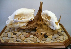 Bear Taxidermy Skull Mounts Pennsylvania Taxidermist, Brown Bear Taxidermy Pine Grove Pa.