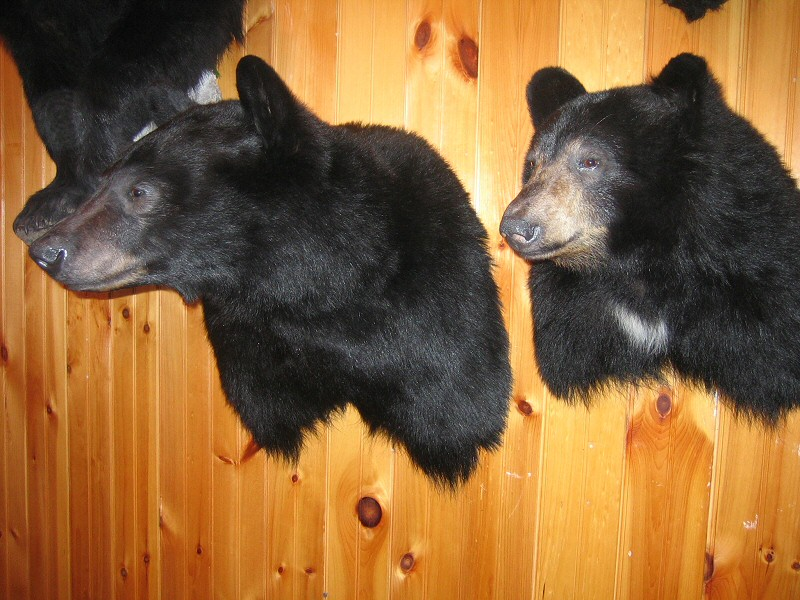 Taxidermy For Sale In Pennsylvania Bear Taxidermy For Sale