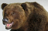 Brown Bear Taxidermy Inc. - Pine Grove, Pa. - Bear Taxidery Specialists