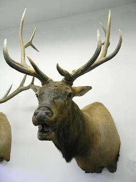 Elk Taxidermy Pennsylvania, Bugling Elk Mounted