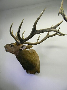 Pennsylvania Elk Taxidermy, Elk Taxidermist Pennsylvania